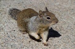 加利福尼亚灰鼠 免版税图库摄影