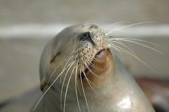 加利福尼亚狮子海运 免版税库存照片