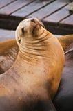 加利福尼亚狮子海运 免版税库存图片