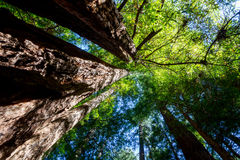 加利福尼亚红杉美国加州红杉sempervirens 库存照片