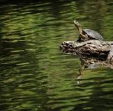 加利福尼亚西部池塘的乌龟 免版税图库摄影