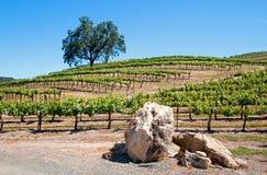 加利福尼亚谷木树和石灰石冰砾在葡萄园里在Paso罗夫莱斯葡萄园在加利福尼亚美国中央谷地  免版税库存照片