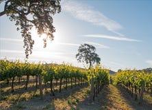 加利福尼亚谷木树在日出的葡萄园里在Paso罗夫莱斯葡萄园在加利福尼亚美国中央谷地  库存照片