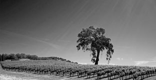 加利福尼亚谷木树在葡萄园里在Paso罗夫莱斯酒乡在黑白中央的加利福尼亚美国- 免版税图库摄影
