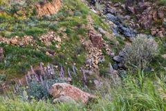 加利福尼亚野生紫金山羽扇豆,季节性春天本地植物,野花 库存照片