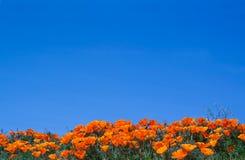加利福尼亚野花鸦片 图库摄影
