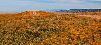 加利福尼亚金黄鸦片和黄色贤哲花在南加利福尼亚高沙漠  免版税库存照片