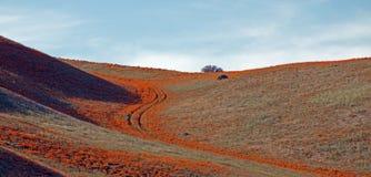 加利福尼亚金黄鸦片在南加利福尼亚高沙漠  库存照片
