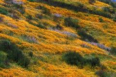 加利福尼亚金黄鸦片小山  库存图片