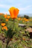加利福尼亚金黄鸦片开花,大瑟尔,高速公路1,加利福尼亚 库存图片