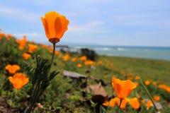 加利福尼亚金黄鸦片开花,大瑟尔,高速公路1,加利福尼亚 免版税图库摄影