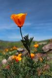 加利福尼亚金黄鸦片开花,大瑟尔,高速公路1,加利福尼亚 库存照片