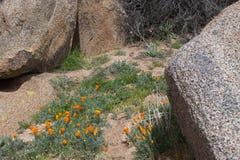 加利福尼亚金黄鸦片临近湖伊莎贝拉 免版税库存图片