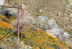 加利福尼亚金黄鸦片临近湖伊莎贝拉 免版税库存照片