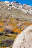 加利福尼亚金黄鸦片临近湖伊莎贝拉 库存照片
