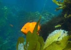 加利福尼亚鱼状态 库存图片