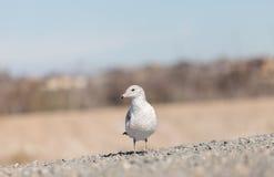 加利福尼亚鸥(鸥属californicus) 库存图片