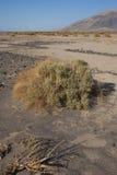 加利福尼亚,死亡谷国家公园,沙漠植被 免版税图库摄影