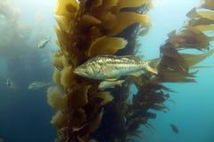 加利福尼亚catalina森林水下海岛的海带 库存图片