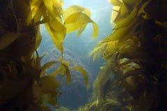 加利福尼亚catalina森林水下海岛的海带 免版税图库摄影