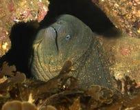 加利福尼亚catalina鳗鱼巨型海岛海鳗 库存照片