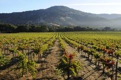 加利福尼亚noir白比诺葡萄葡萄园 免版税图库摄影