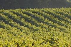 加利福尼亚noir白比诺葡萄葡萄园 免版税库存图片