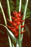 加勒比人heliconia 库存照片