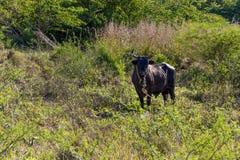 加勒比公牛 图库摄影