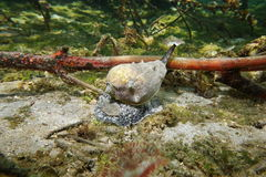 加勒比冠巧克力精炼机海洋蜗牛Melongena 免版税库存图片