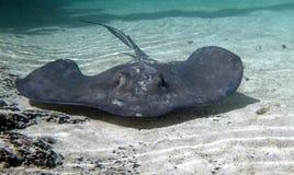 加勒比大西洋黄貂鱼 库存图片