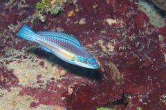 加勒比彩虹濑鱼 免版税库存图片