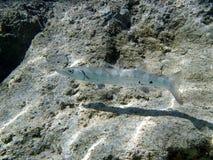 加勒比梭子鱼 库存图片