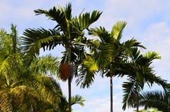 加勒比棕榈树 库存图片