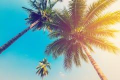 加勒比椰子古巴棕榈树 库存图片