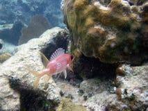 加勒比波多里哥金鳞鱼 库存照片