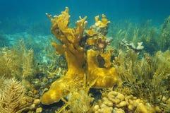 加勒比海和Elkhorn珊瑚水下的礁石  免版税库存图片