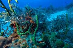 加勒比海桑迪底部有珊瑚和鱼的 免版税图库摄影