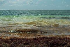 加勒比海滩充斥与马尾藻类海草海草 免版税库存照片