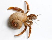 从加勒比海的寄居蟹 免版税库存图片