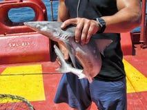 加勒比海,墨西哥- 2014年6月16日:供以人员举行和展示一个年轻小鲨鱼他捉住了从船的渔在oc中 库存图片