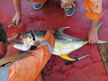 加勒比海,墨西哥- 2015年6月25日:船甲板的水手穿戴在海洋抓的一条大新鲜的金枪鱼 免版税库存图片