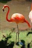 加勒比火鸟在尤加坦 库存照片