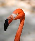 加勒比火鸟在尤加坦 库存图片