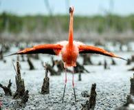 加勒比火鸟 Phoenicopterus ruber ruber 库存照片