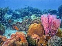 加勒比珊瑚礁 库存图片