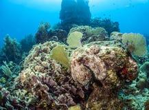 加勒比礁石章鱼(章鱼briareus) 免版税库存照片