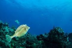 加勒比礁石鱼 库存图片
