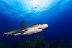 加勒比礁石鲨鱼关闭遭遇用蓝色清楚的水 免版税库存图片