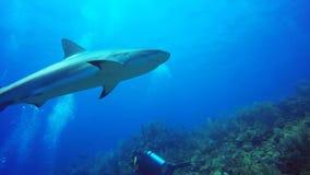加勒比礁石鲨鱼在Jardin de la Reina,古巴 影视素材